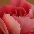 Salmon-colored Dianthus caryophyllus by SmoothBreeze7