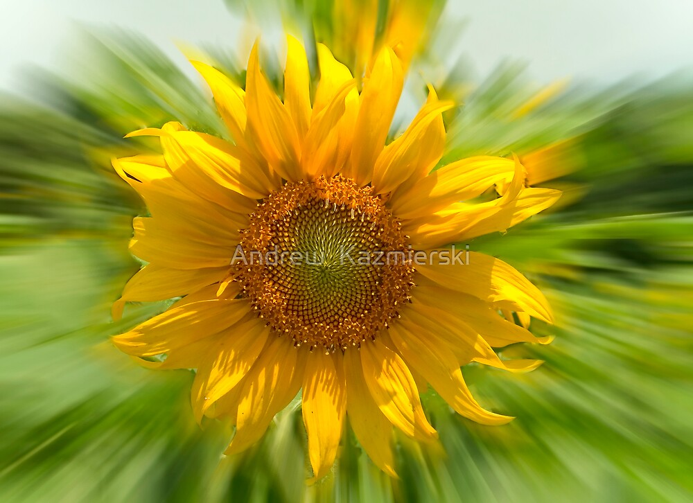 Sunflower by andykazie