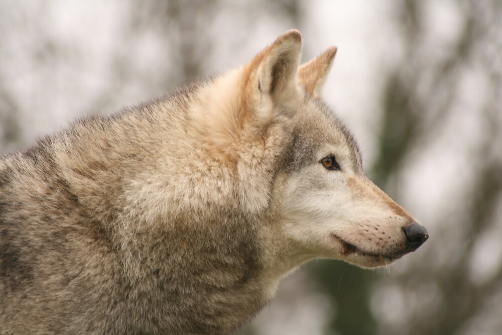 North Amercian Wolf by Hayley Evans