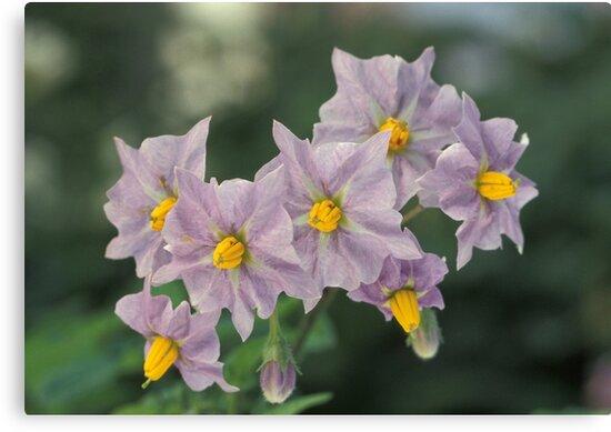 Potato Flowers Solanum Rantonnetii Royal Robe by taiche