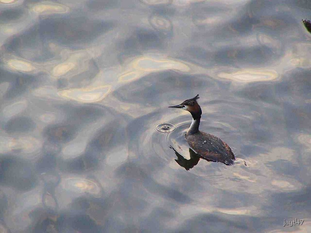 Great Crested Grebe by jayt47