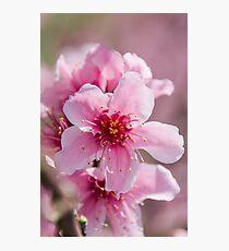 Peach Blossoms 14 Photographic Print