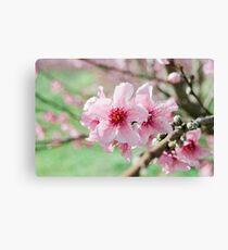 Peach Blossoms 15 Canvas Print
