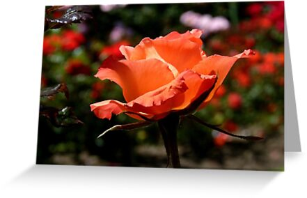 A Single Rose Just For You! - NZ - Southland by AndreaEL