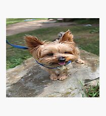 A Yorkie's Smile Photographic Print