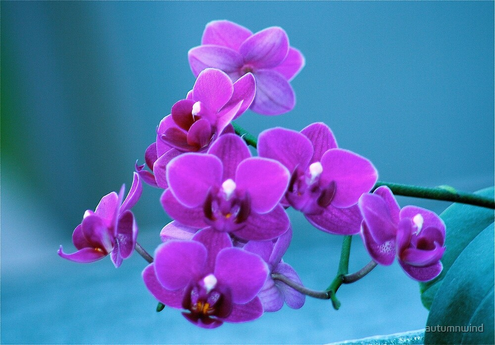 Amazing Blooming Orchids by autumnwind