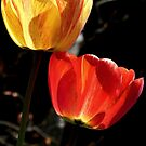 Let the Light shine Through! - Tulips - NZ - Southland by AndreaEL
