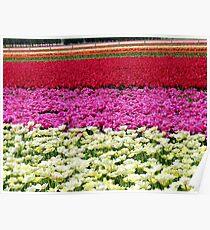 Vivid Streaks - Tulip Plantation - Southland Poster