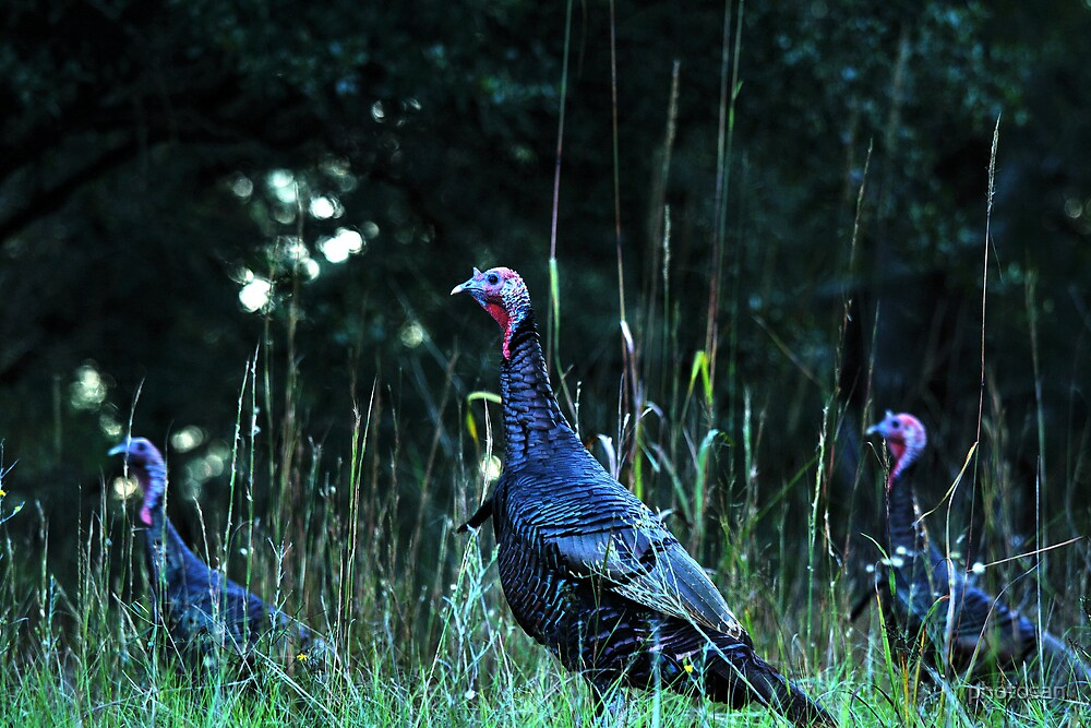 Turkeys on the run... by photosan