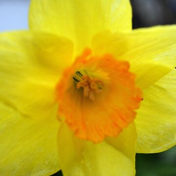 Bright spring yellow daffodil flower photo art by naturematters