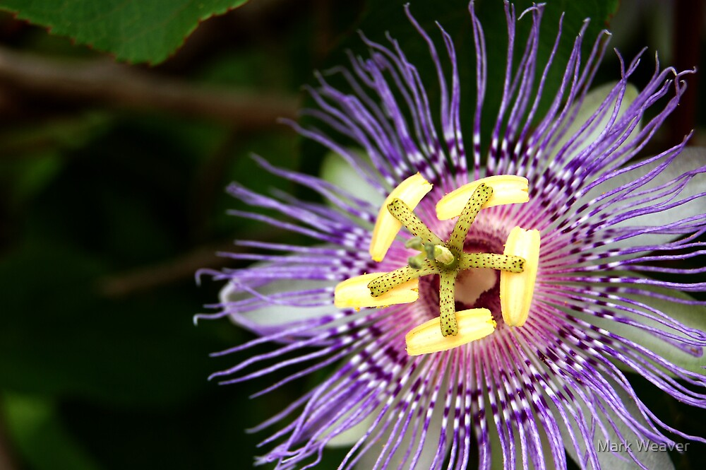 Passion Flower.  Haulover Canal, Florida. by Mark Weaver