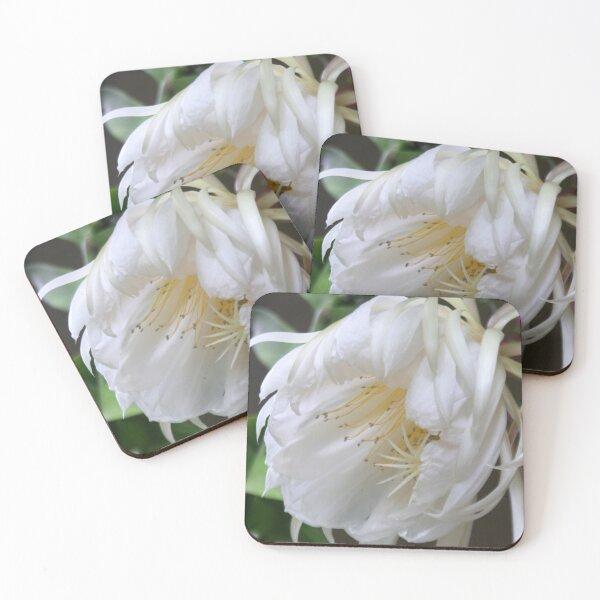 Unusual flower - Queen of the Night (Epiphyllum Oxypetalum) Coasters (Set of 4)