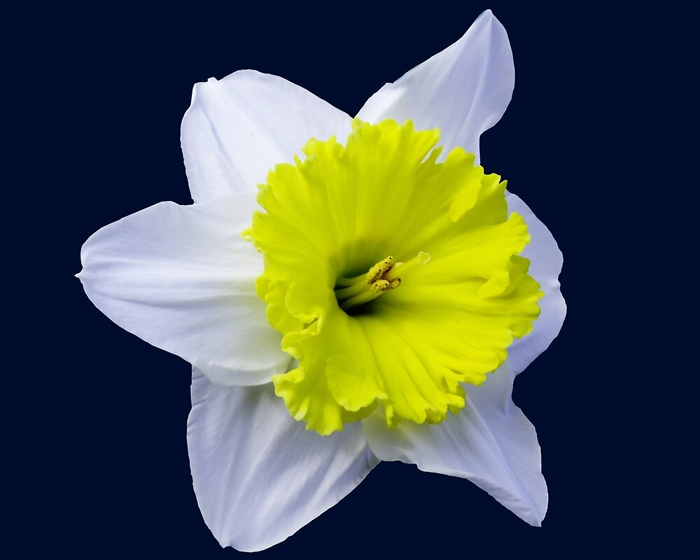 Daffodil on Blue by Keith Childers