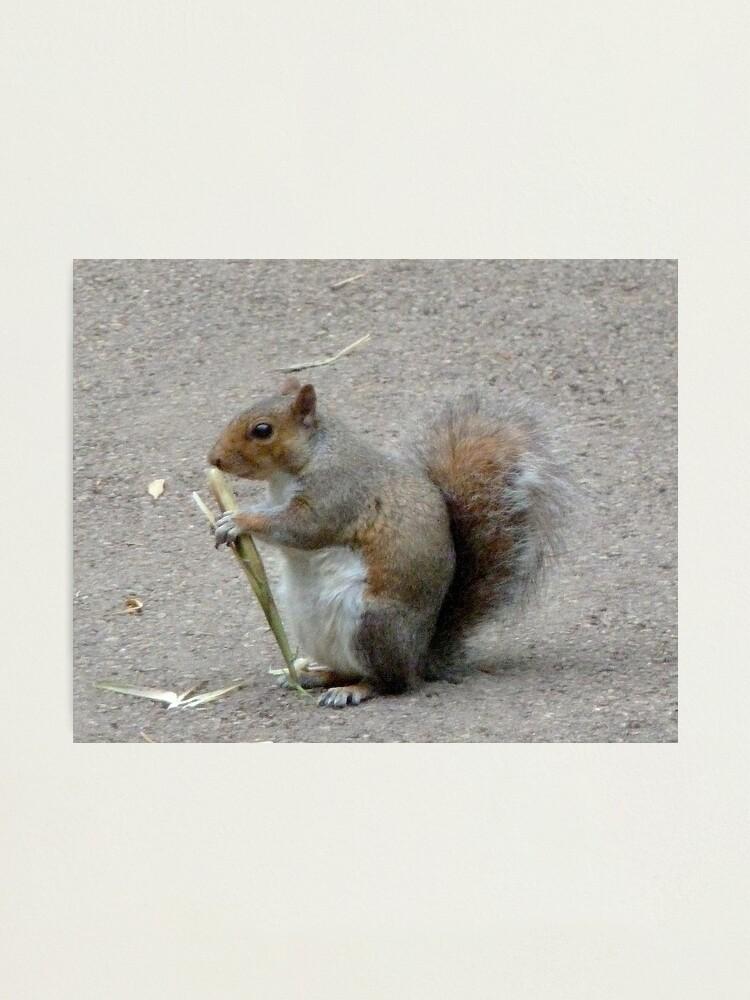 Alternate view of Squirrel. Kew gardens. London Photographic Print