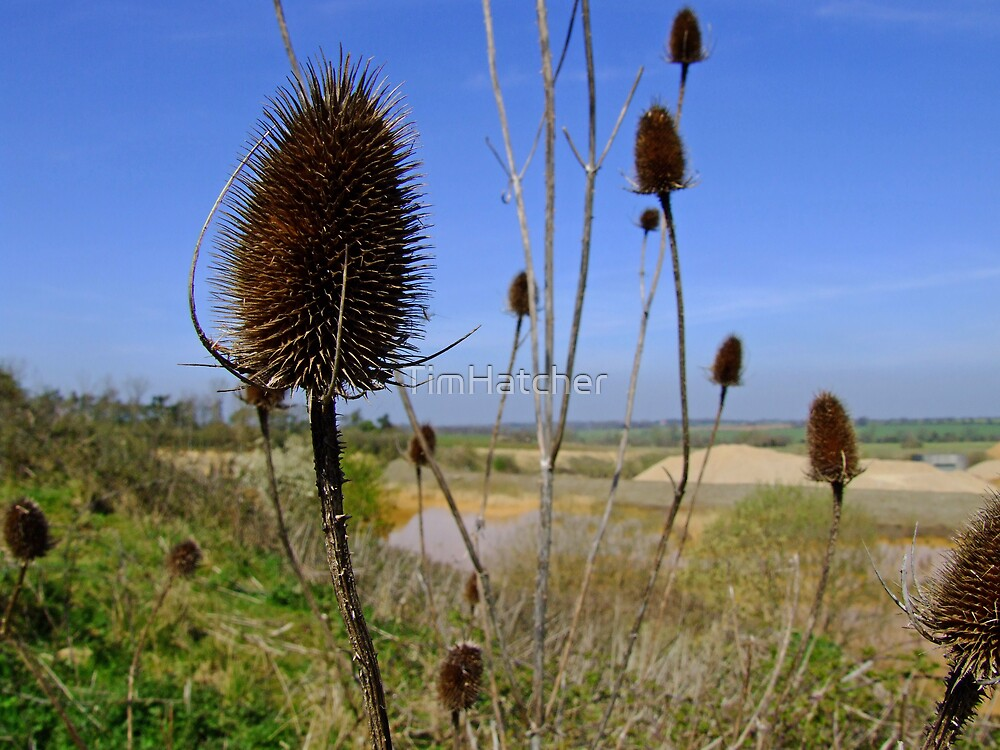 Teasel. by TimHatcher