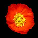 Flamboyant Arctic Poppy by MidnightMelody