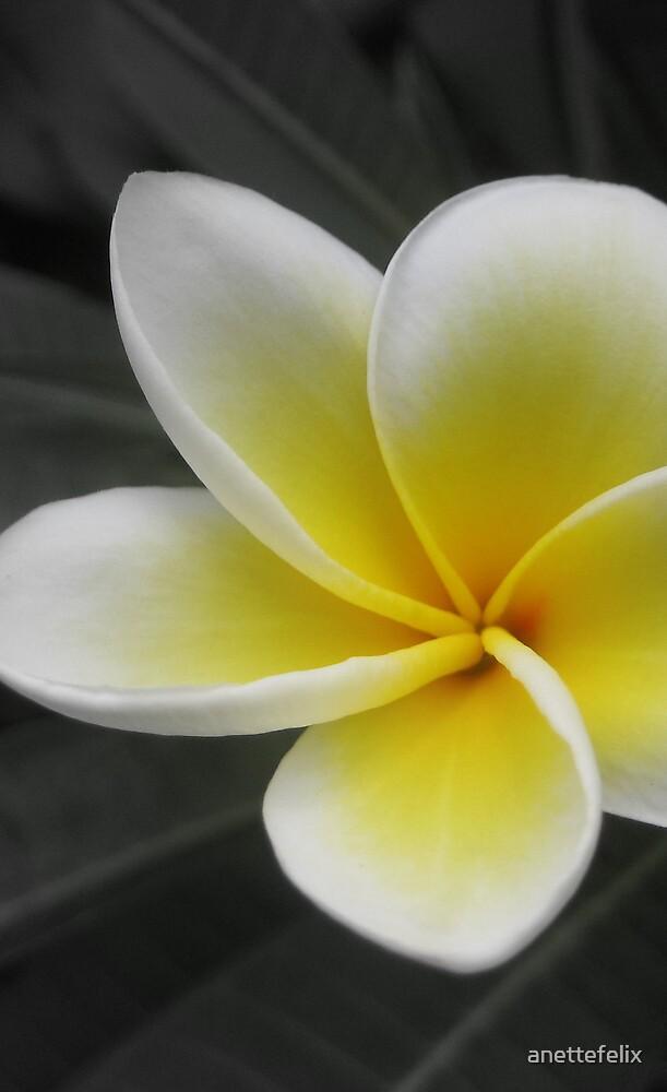 White Plumeria by anettefelix