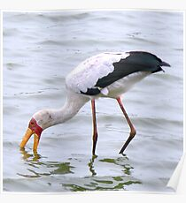Yellow Billed Stork Poster