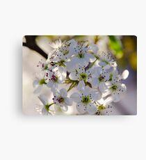 Pear Blossoms Canvas Print