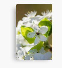 Pear Blossoms 3 Canvas Print