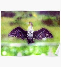 hite breasted Cormorant Phalacrocorax lucidus, drying its wings.  Poster