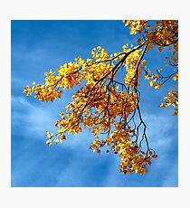 Poplar Leaves in Autumn Photographic Print