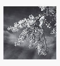 Poplar Branches in Black and White Photographic Print