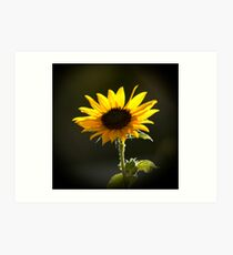 Backlit Sunflower Art Print