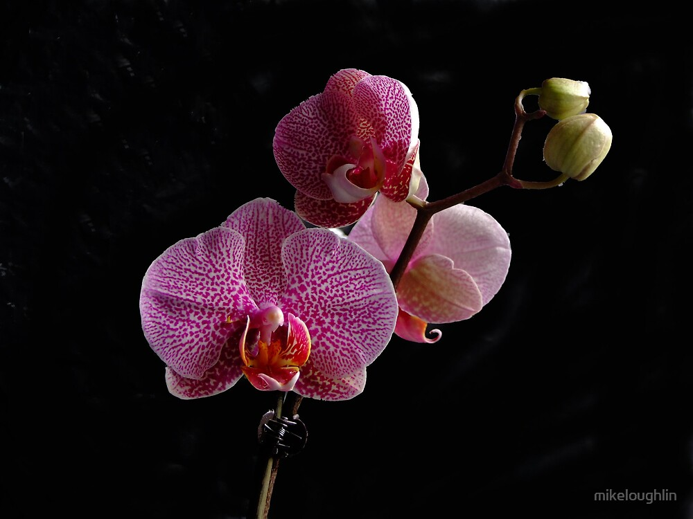 Orchid by mikeloughlin