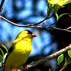 A Ray of Sunshine, The North American Goldfinch by AngieDavies