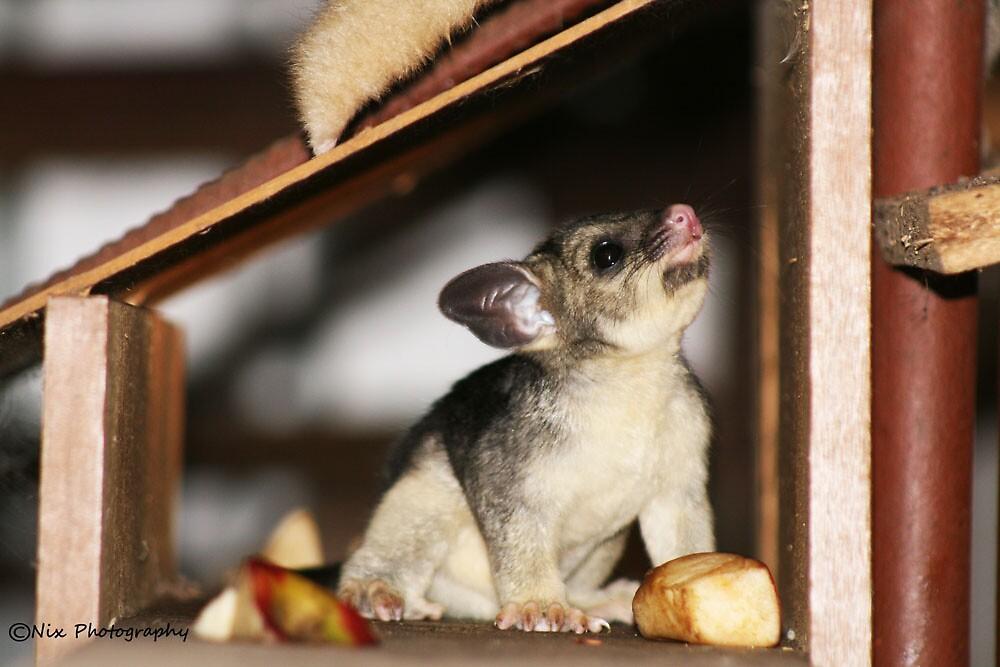 Baby Possum by Nix76