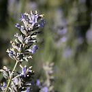 lovley lavender by veins