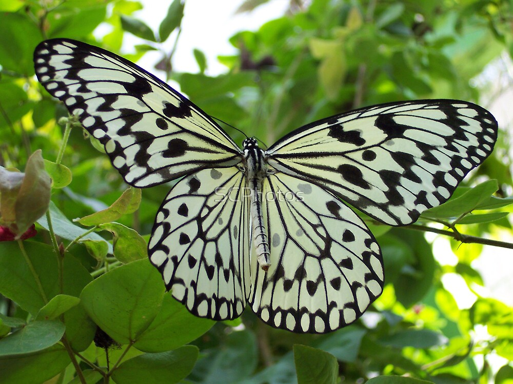 Malaysian Butterfly by SCPhotos