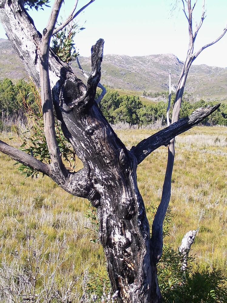 """""""Pinocchio"""" tree - near Zeehan  by gaylene"""