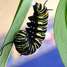 Instar! - Extraordinary Transformation! - Monarch Caterpillar - NZ  by AndreaEL