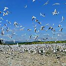 The Seagull Colony - River Bank - NZ  by AndreaEL