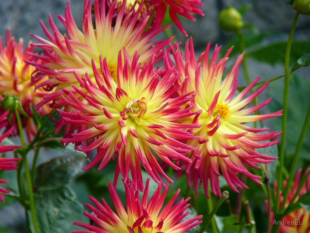 The Meaning of Variety... - Dahlia Blooms - NZ by AndreaEL