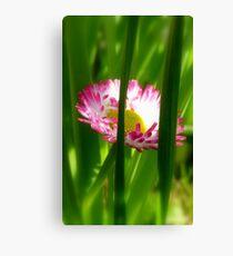 Make way Pink Bloom Peeking Through! - Wild Daisy - NZ - Southland Canvas Print