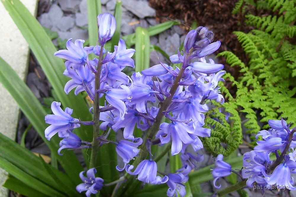 Bluebells by pat oubridge