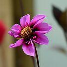 Flamboyant Pink -  Dahlia Hybrid - NZ by AndreaEL