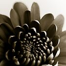 Black and White petals by Viv van der Holst