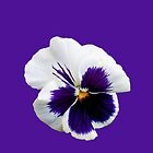 White and Purple Pansy on Plain Background by EasterDaffodil