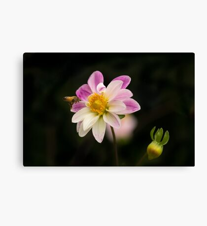 Making a Beeline for the Dahlia Canvas Print