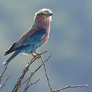 Backlit Lilac Breasted Roller by John Banks