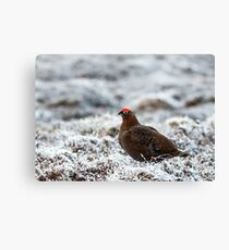 Red Grouse Canvas Print