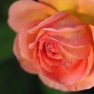 Beautiful Orange In Rose Flower by Joy Watson