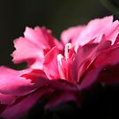 Dianthus caryophyllus by SmoothBreeze7
