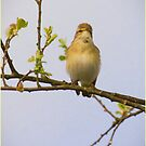 Willow Warbler  by M S Photography/Art