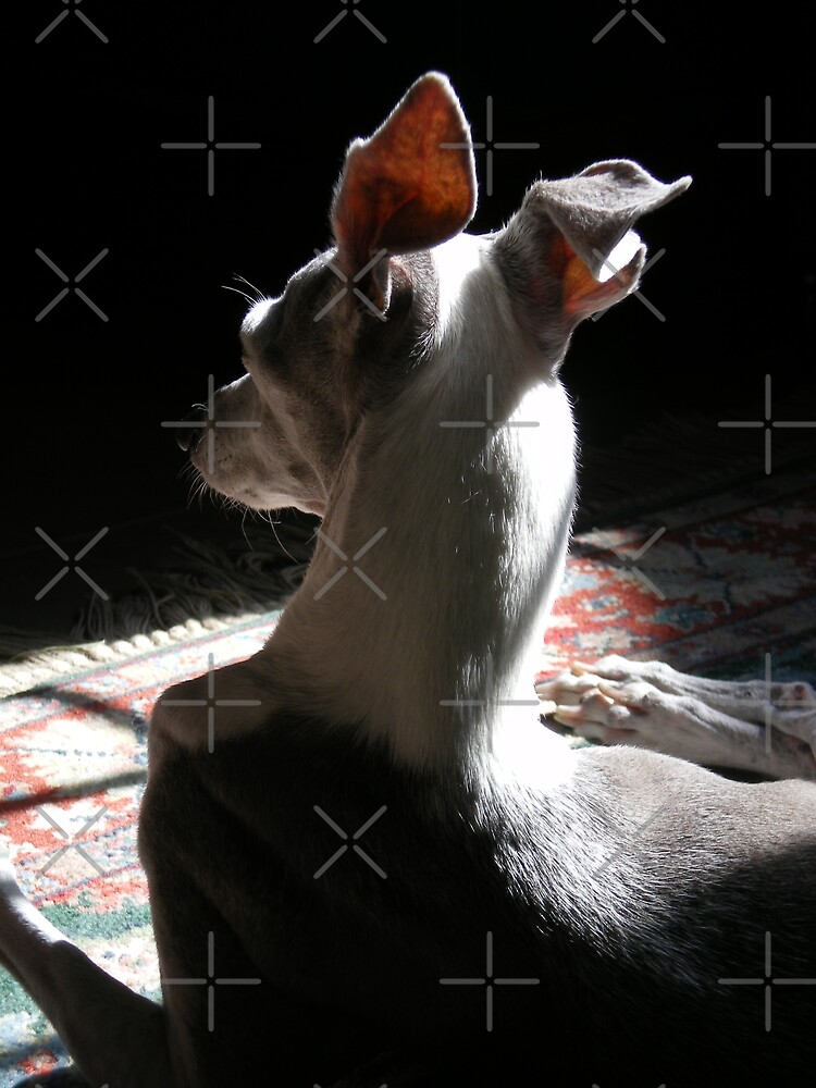 Italian Greyhound in Shadow by Rebekah  McLeod