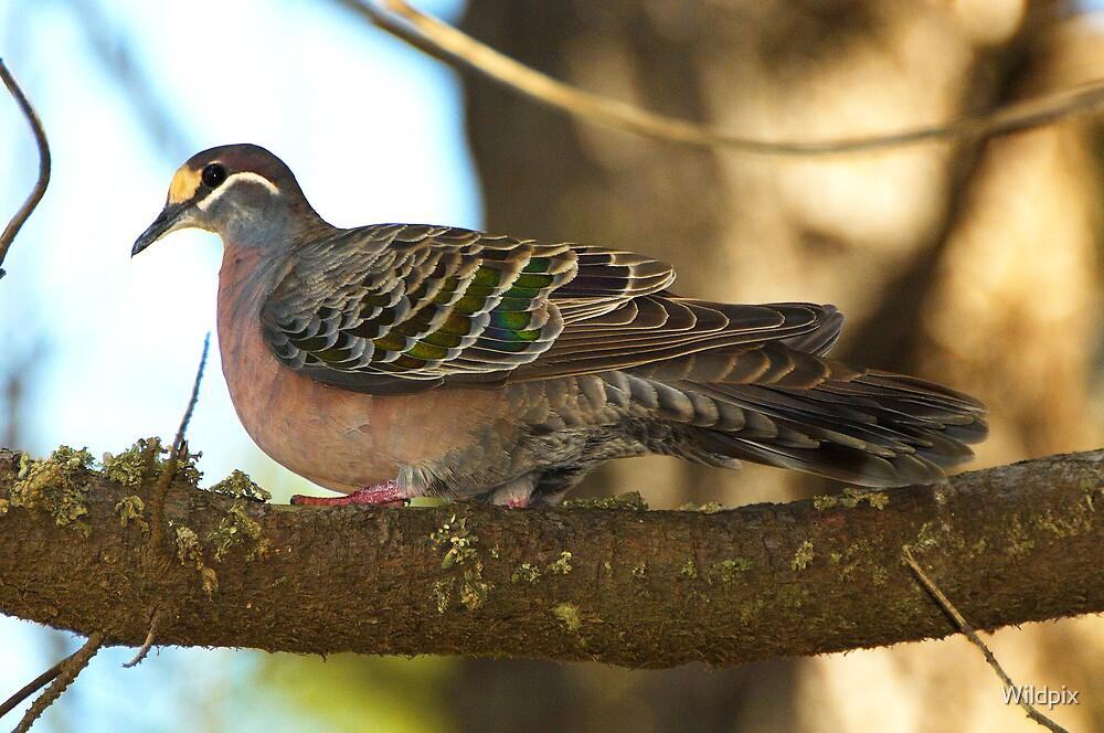 Common Bronzewing Pigeon by Wildpix
